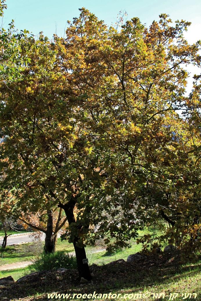 אלון לביד Quercus pubescens (1).JPG