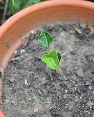 Small-Vine-in-Pot-1024x687.jpg