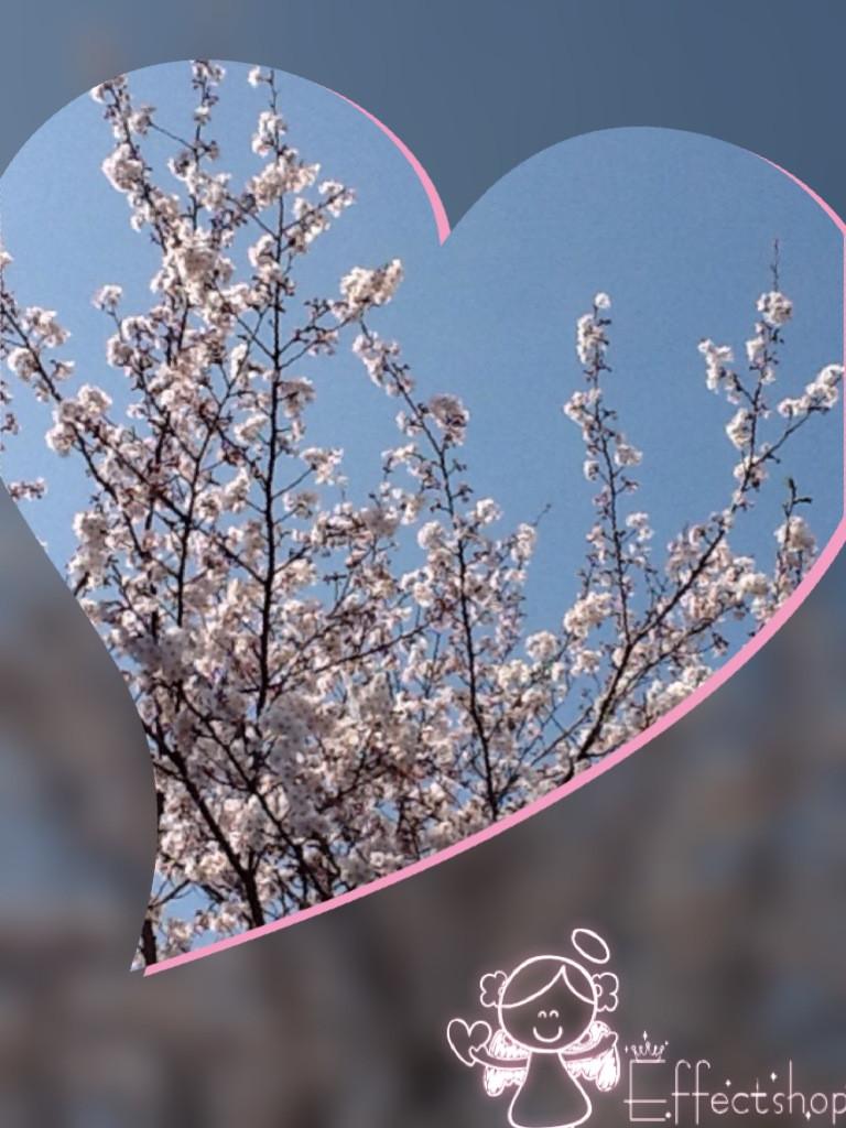 桜満開photo