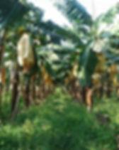 Banana_190118_0004.jpg
