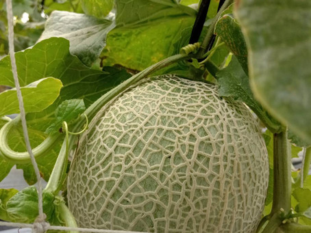 Meet the Farmer Series 5 - Hsiu's Muskmelons
