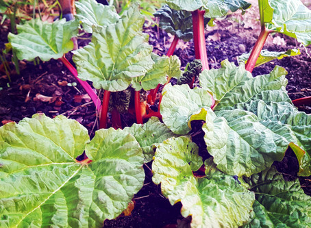 Plot Life: Spring rhubarb recipes