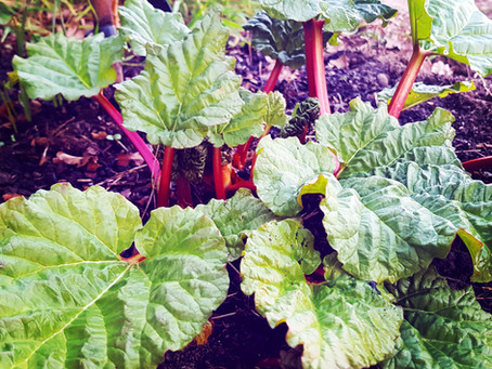 Plot Life: Spring rhubarb recipes