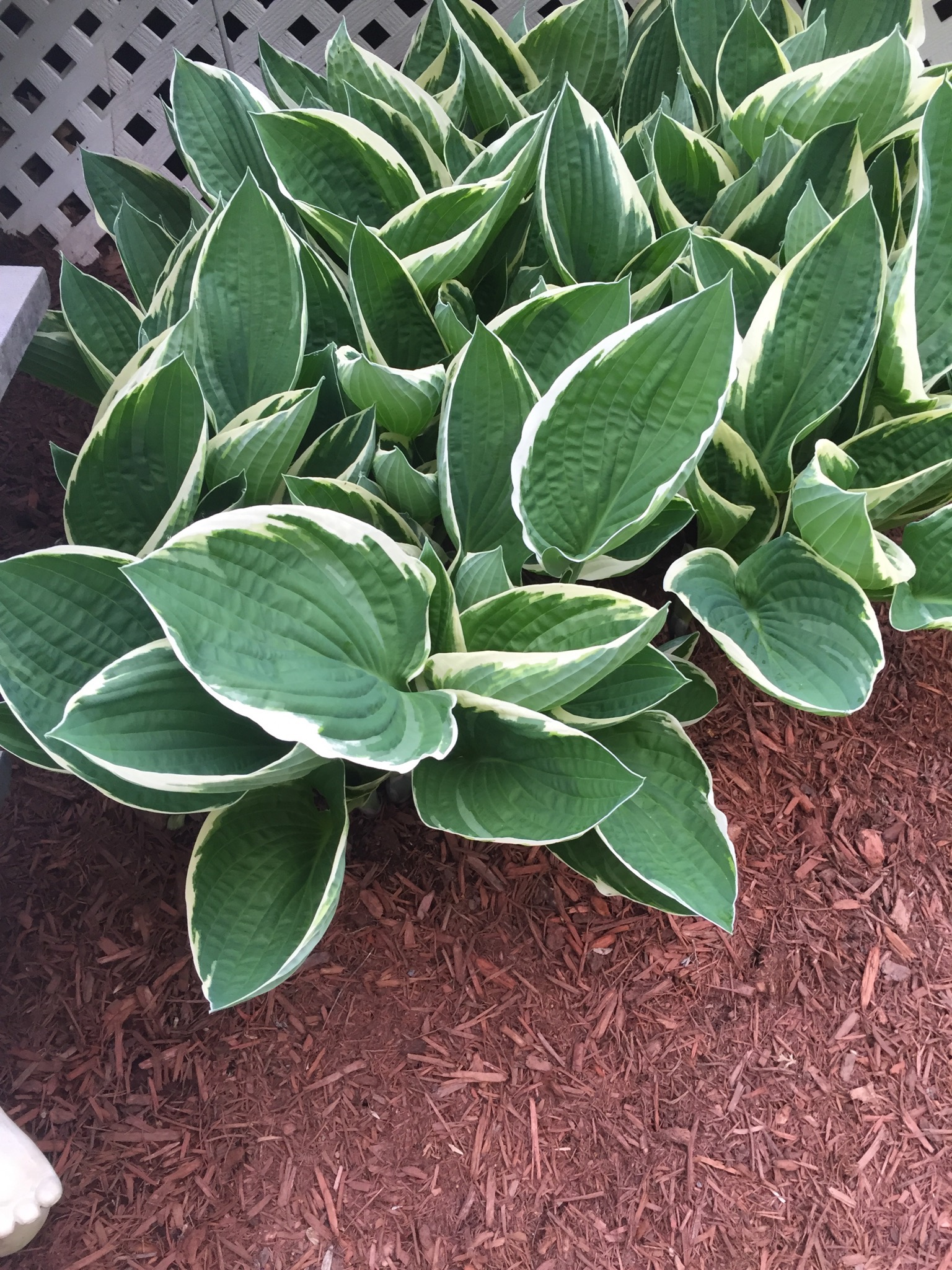 Planting of Hosta in East Lyme, CT