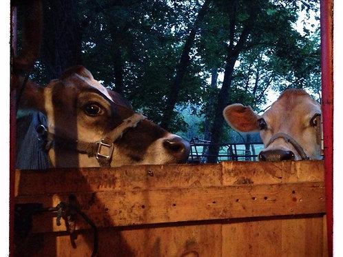Milk Cow Share Deposit