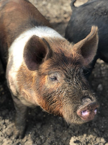(Ralf) Pasture Raised Pigs