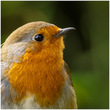 'Robins Eye' by Colin Paul ( 10.5 marks )