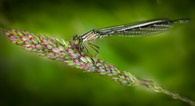 'Damsel Fly' by Brian Carey ( 9 marks )