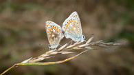 'Mating Common Blues' by Robert Sergeant ( 13.5 marks )