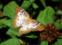 Maria Sibylla Merian, Joseph Taylor, Butterfly