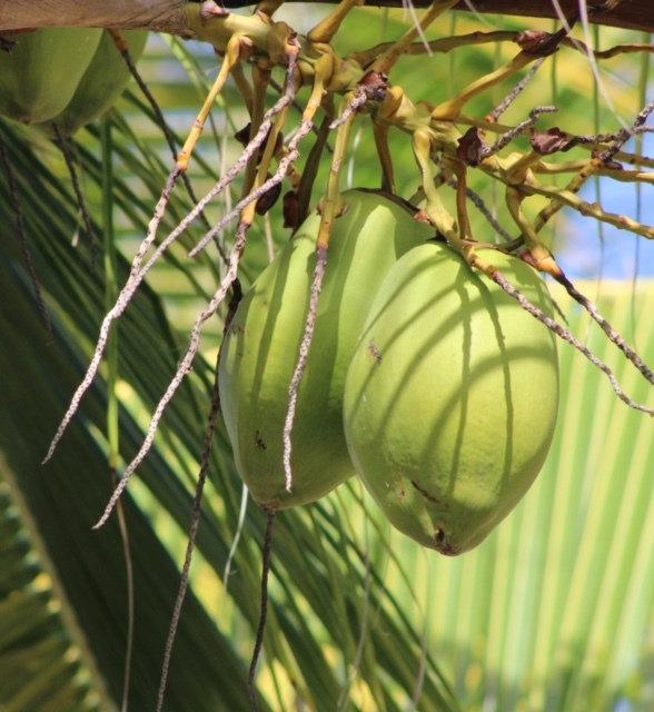 "Cheryl Jorgenson: ""A Bunch of Coconuts"""