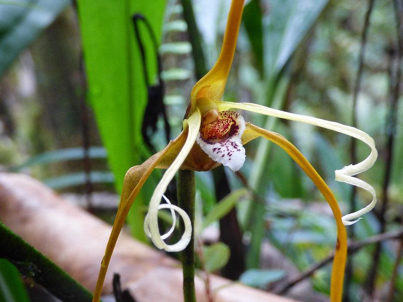 Orchidée photographiée au Parc national Yariguies