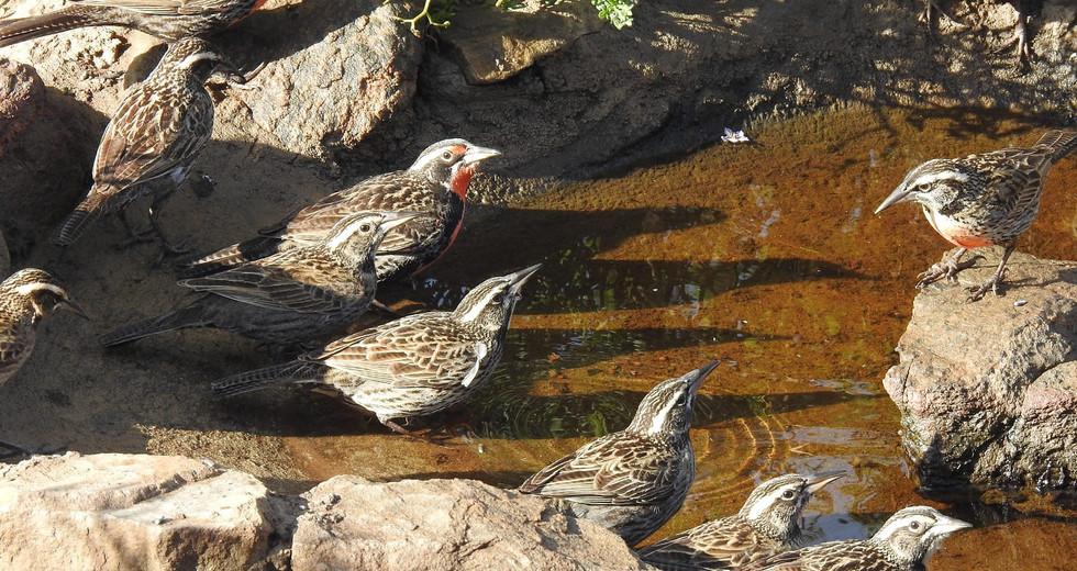 Sturnelle australe (Leistes loyca)