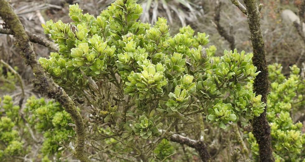 Vautro (Baccharis vernalis)