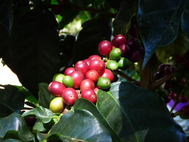 Grains de café de la Sierra Nevada