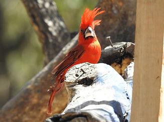 COL-B069-Vermilion Cardinal.jpg