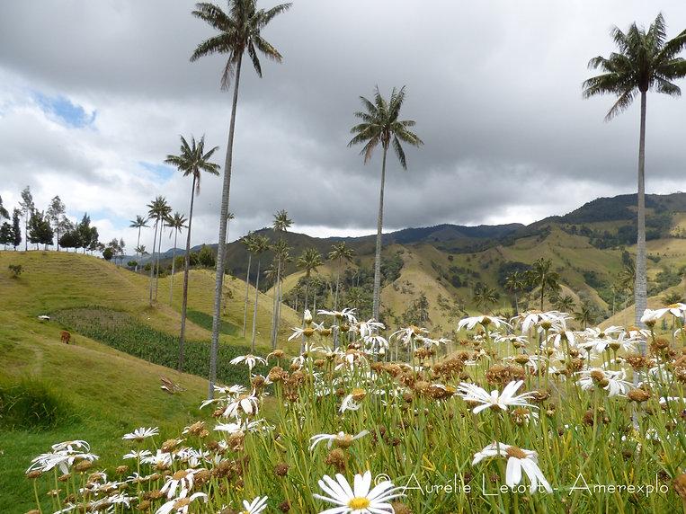 Palmiers de cire dans la vallée de las Samarias près de Salamina