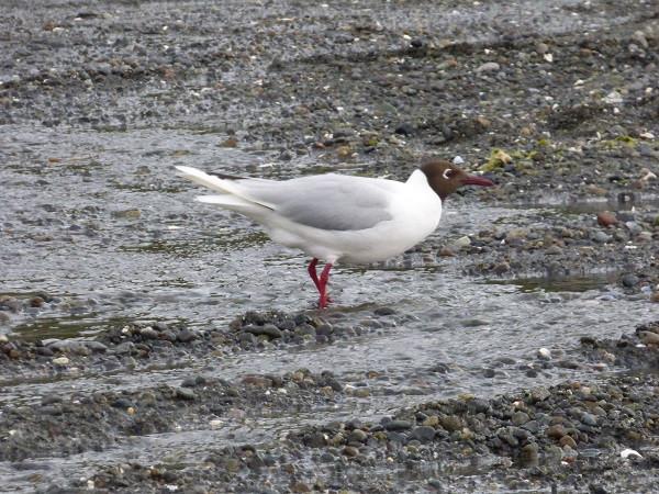 Brown-hooded Gull