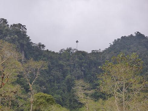 Palmier de cire dépassant de la canopée dans le Parque Nacional Los Nevados