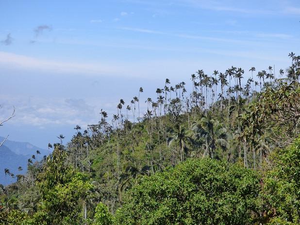 Palmiers de cire vus depuis la Sierra Nevada