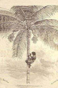Palmier de cire © Banque de la République de Colombie