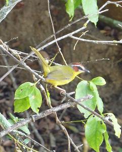 Rufous-capped Warbler.jpg