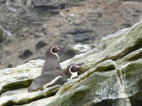 Pingouin de Humboldt