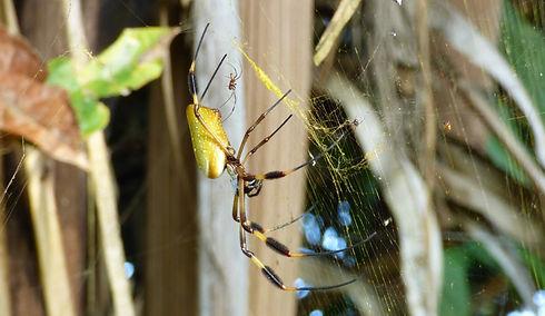 Mâle et femelle de l'araignée Nephila Clavipes (Sierra Nevada de Santa Marta)