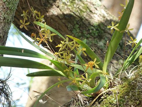 Orchidée du genre Encyclia photographiée à Barichara