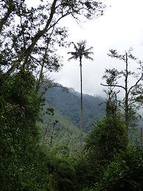 Palmier de cire dépassant de la canopée dans la réserve Acaime