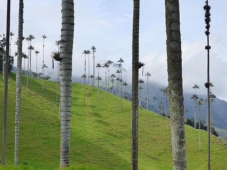 Palmiers de cire dans la vallée de Cocora