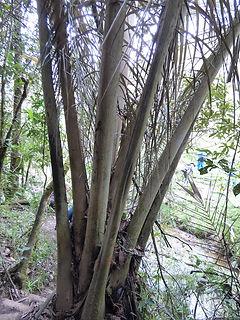 Etapes de croissance du palmier de cire