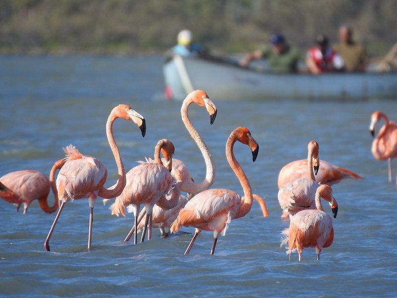 COL-B065-American Flamingo.jpg