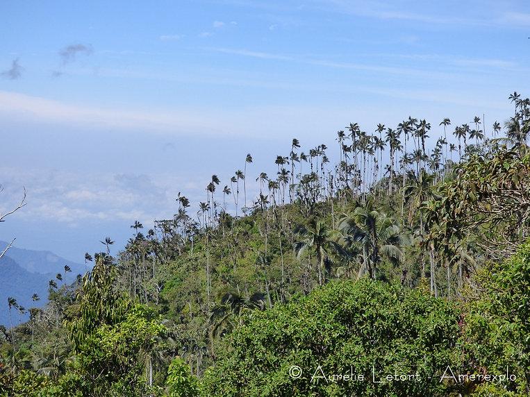 Palmier de cire observé au Cerro Kennedy dans la Sierra Nevada de Santa Marta