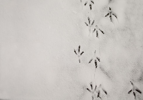 Bird Footprints In First Snow. Traces Of