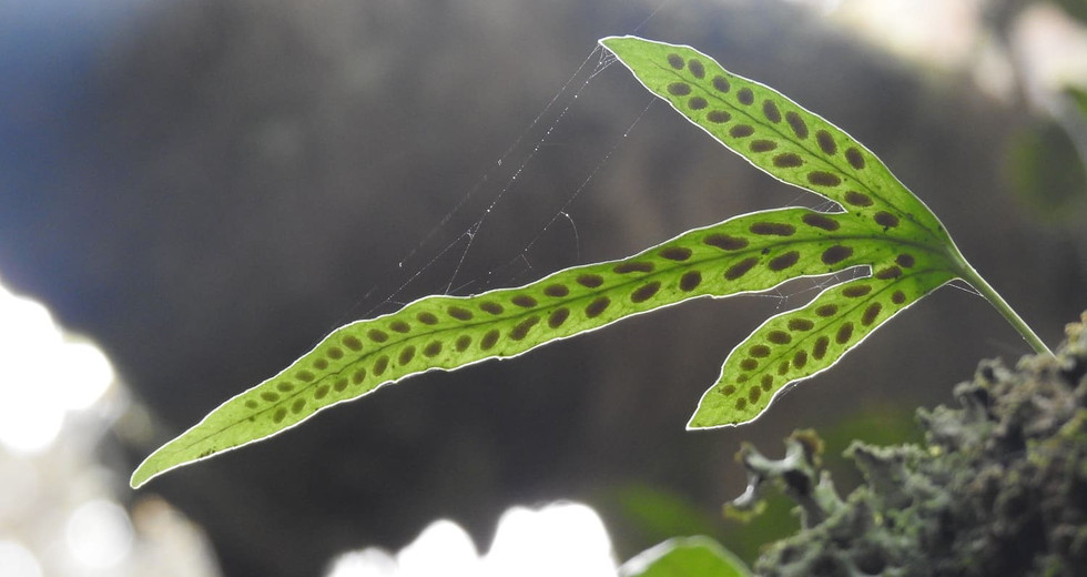 Hierba del Lagarto (Synammia feuillei)