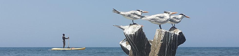 2020-02-28.baru.ave.Royal.Tern.Caspian.T