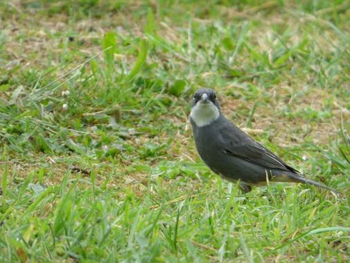 Common Diuca-Finch
