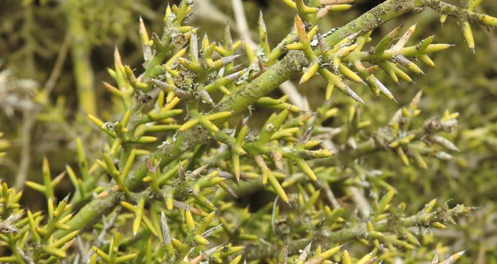 Crucero (Colletia hystrix Clos)