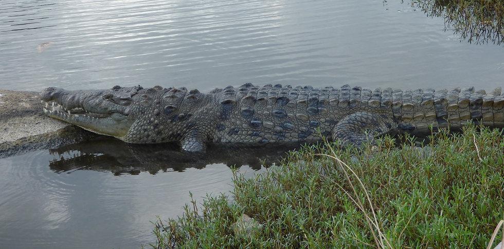Crocodile américain à la lagune d'Arrecifes dans le Parc Tayrona (Colombie)