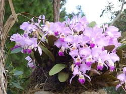 Cattleya trianae - Zapatoca