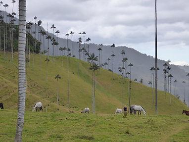 Palmier de cire dans la vallée de Cocora