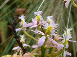 Epidendrum ibaguense - Valle de Cocora