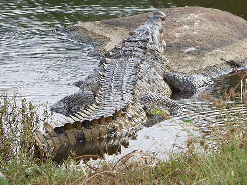 Crocodile se reposant au bord de la lagune d'Arrecifes dans le Parc National Tayrona