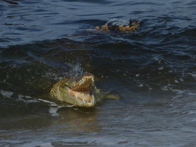 Crocodile dans le Parc National Tayrona