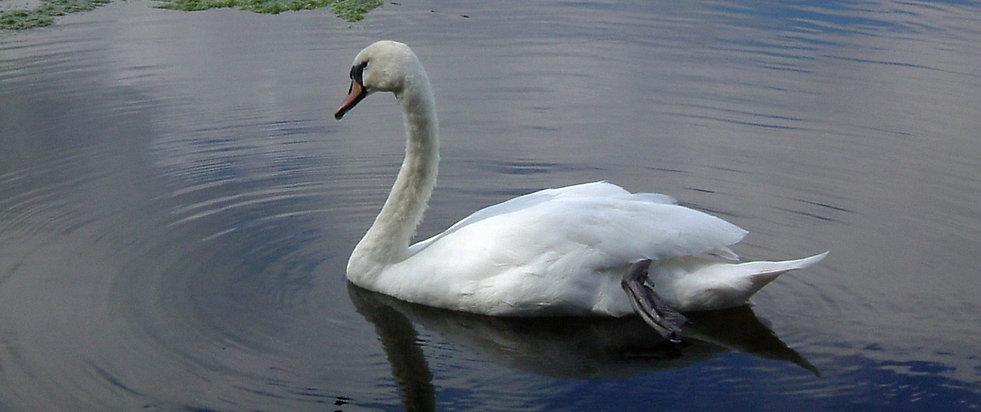 swan wide ed.jpg