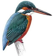 kingfisher_tcm9-17044.jpg