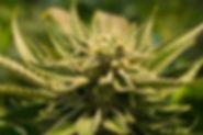 cannabis-2152604_640.jpg