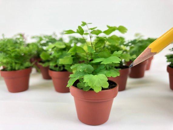 Micro Ferns, Holiday Gifts, Barbara Vail Design