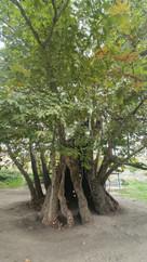 chinari 3.jpg